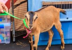 American LaMancha Goat Royalty Free Stock Images