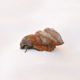 American Lappet Moth Royalty Free Stock Photography