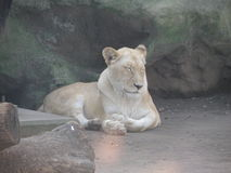 American lion asleep Stock Photos