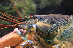 American lobster. The detail of american lobster royalty free stock image