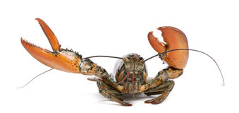 American lobster, Homarus americanus Royalty Free Stock Photo