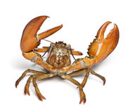American lobster, Homarus americanus Stock Photo