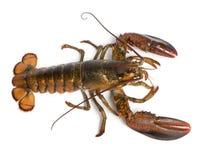 American lobster, Homarus americanus Royalty Free Stock Image