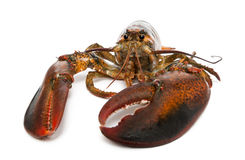 American lobster, Homarus americanus Stock Images
