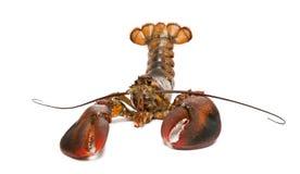 American lobster, Homarus americanus, Stock Image