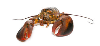 American lobster, Homarus americanus Stock Photography