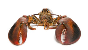 American lobster, Homarus americanus Royalty Free Stock Photos