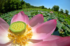 American lotus. And round pond Stock Photo