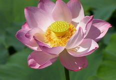 American lotus Stock Image