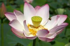 American lotus and bug Stock Photography