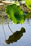 American Lotus Leaf In Wetlands. American Lotus Leaf In Natural Lake Erie Wetlands royalty free stock photos