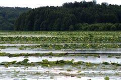 American Lotus on lake stock photo