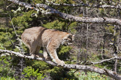 American Lynx cat. The immature lynx feels safe in the tree and is very adept at climbing Royalty Free Stock Images