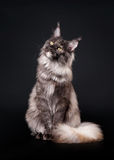 American maine coon cat. On black background Royalty Free Stock Image