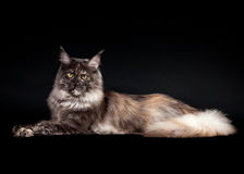 American maine coon cat. On black background Stock Image