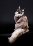 American maine coon cat. On black background Stock Photos