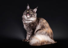 American maine coon cat. On black background Royalty Free Stock Photography