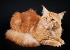 American maine coon cat. On black background Stock Images