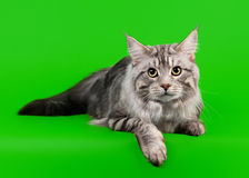 American maine coon cat Royalty Free Stock Photo