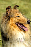 American, male, purebred collie dog Royalty Free Stock Photo