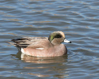 American Male Wigeon in Socorro New Mexico. Adult  American Male Wigeon in Socorro New Mexico Stock Photos