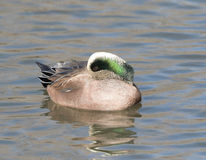 American Male Wigeon in Socorro New Mexico. Adult  American Male Wigeon in Socorro New Mexico Royalty Free Stock Photography