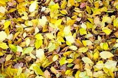 American maple leaves Stock Image