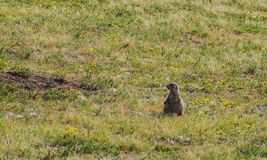 American marmot rests in its nest while other marmots control the environment royalty free stock photography