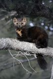 American marten, Martes americana, Royalty Free Stock Images