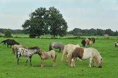 American mini horses royalty free stock photography