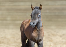American miniature bay foal is one month of birth. Royalty Free Stock Photos