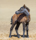 American miniature bay foal stands on sand. Stock Images