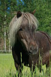 American Miniature Horse Royalty Free Stock Photos