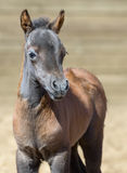 American miniature horse. Bay foal is one month of birth. Royalty Free Stock Photos