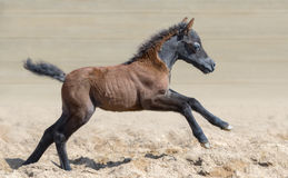 American miniature horse. Elegant bay foal is one month of birth. American miniature horse. Graceful and elegant bay foal is one month of birth. Mare in motion Royalty Free Stock Images