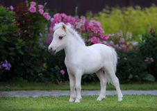 American miniature horse. Palomino foal  in garden. Stock Images