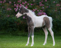 American miniature horse. Pinto foal is one month of birth. Stock Photo