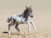 American miniature horse. Pinto newly born foal in motion. Royalty Free Stock Photography