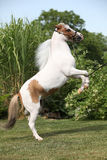 American miniature horse prancing Royalty Free Stock Images