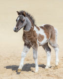 American miniature horse. Silver bay skewbald foal. Stock Photo