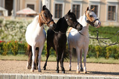 American miniature horse standing Stock Images