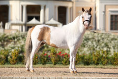 American miniature horse standing Royalty Free Stock Image