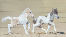 American miniature horse. Two foal. Stock Photography