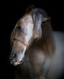Portrait on black backgound of American Miniature Horse. Royalty Free Stock Photos