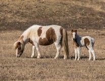 American Miniature Horses royalty free stock photo