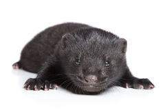 American Mink 1 month stock photography