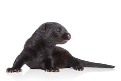 American Mink 1 month royalty free stock images