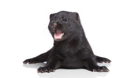 American Mink 1 month Royalty Free Stock Image