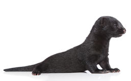 American Mink 1 month Royalty Free Stock Photos