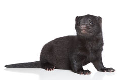 American Mink 1 month Royalty Free Stock Photo